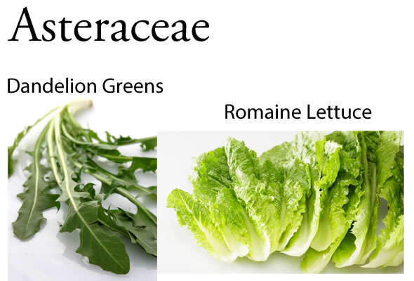 Asteraceae: Why @BlenderBabes Wants You to Rotate Your Greens